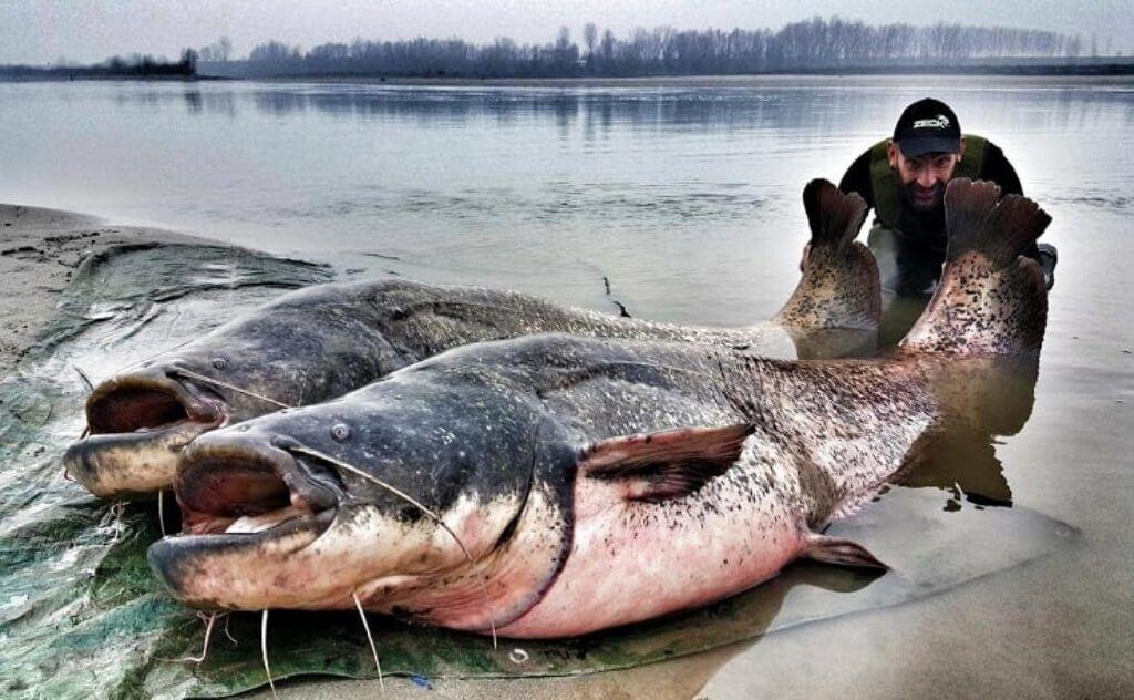 Сомы и рыбак