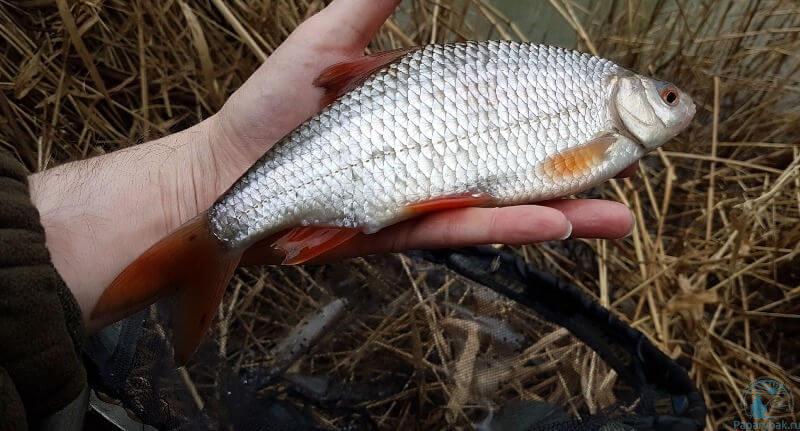 Белая рыба плотва