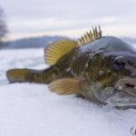 ротан рыба зимой