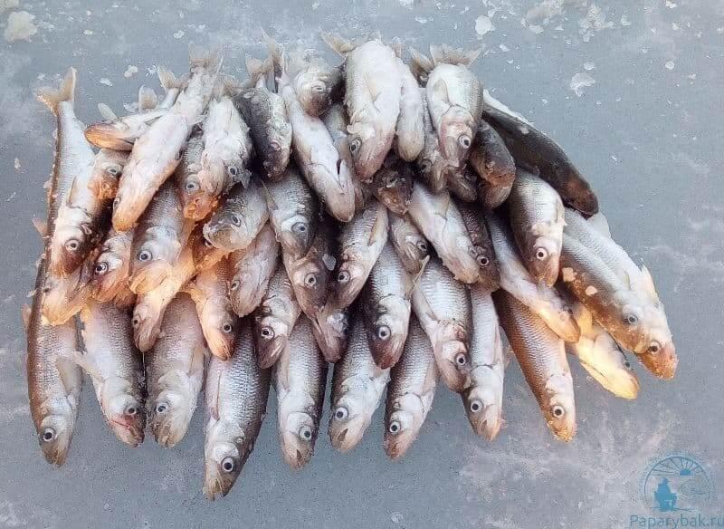 рыбка корюшка