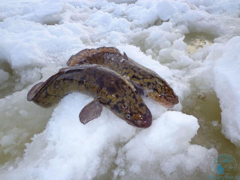 скользкая рыба